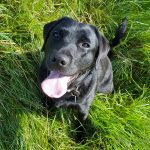 Black labrador as an accountability partner